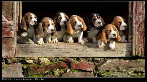 basset hound puppy!